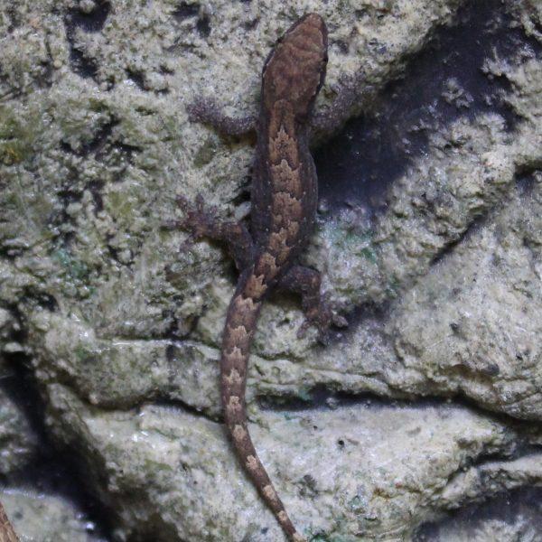 Mourning-Gecko-1-e1504871878255