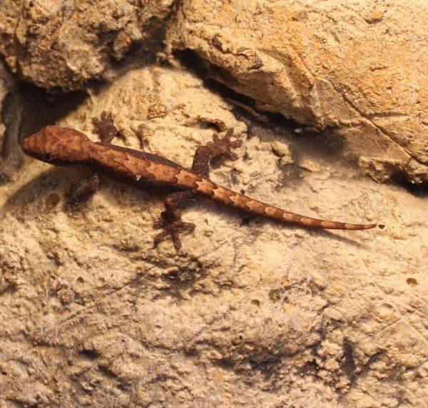 Mourning Geckos - Lepidodactylus lugubris