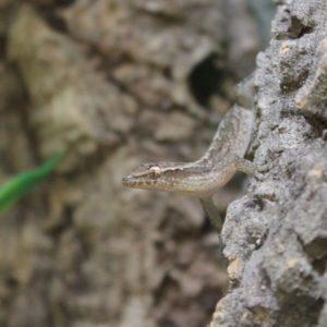 Mourning-Gecko-e1504871797525-1