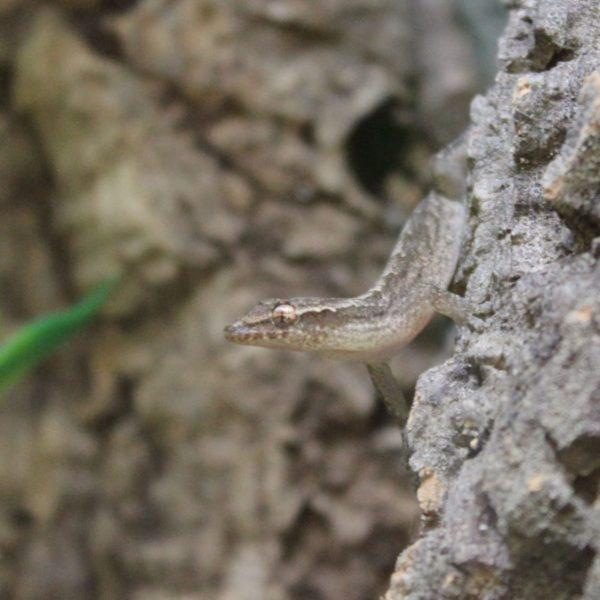 Mourning Geckos – Lepidodactylus lugubris