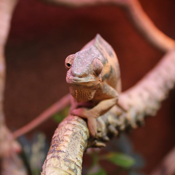 Panther Chameleon - Female - Furcifer pardalis