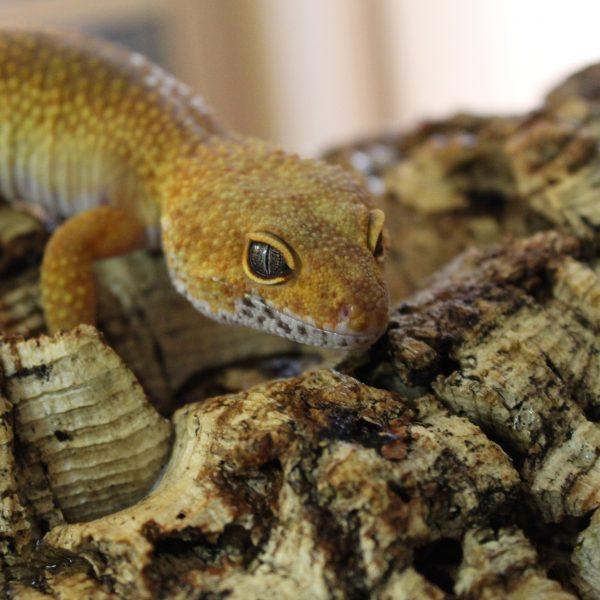 Rainwater-Albino-Leopard-Gecko-1-e1473259511394-2
