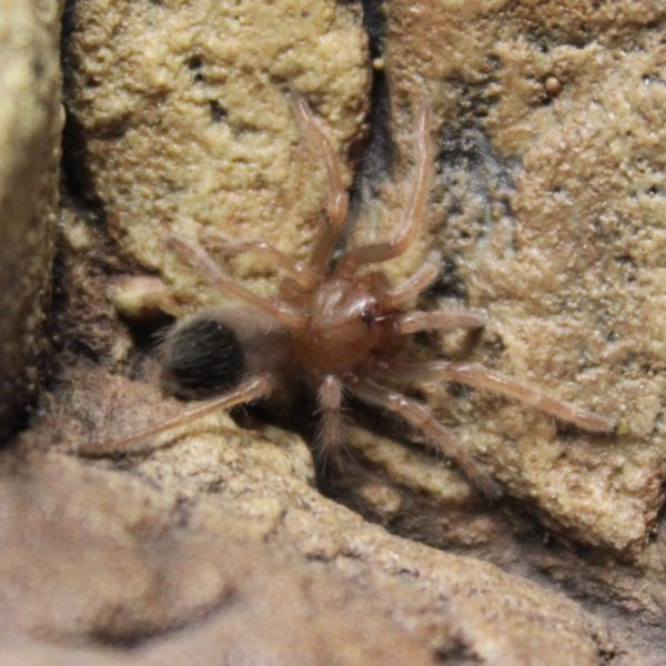 Red-Knee-Tarantula-spiderling-e1455699519977-1