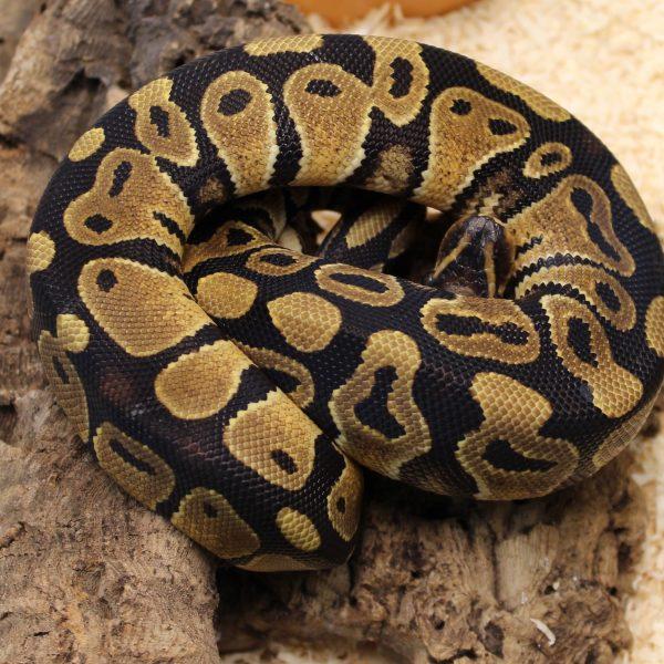 Royal-Python-e1487081125525