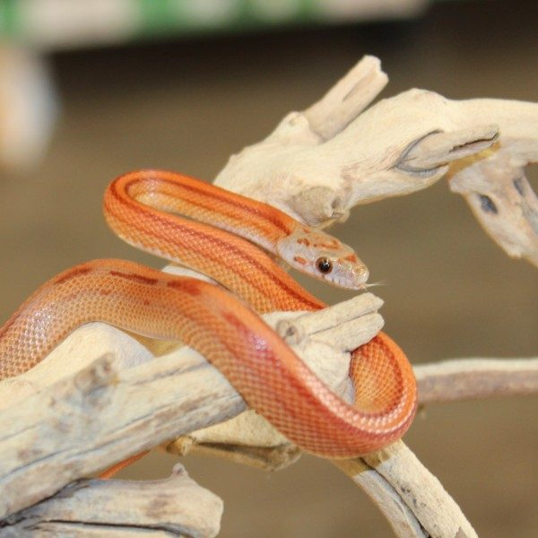 Striped-Corn-Snake-e1457862808413-2