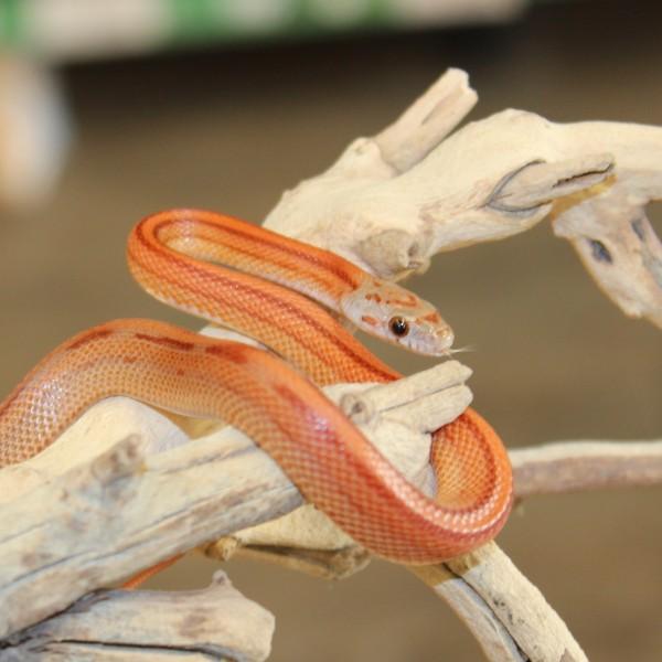 Striped-Corn-Snake-e1457862808413-2
