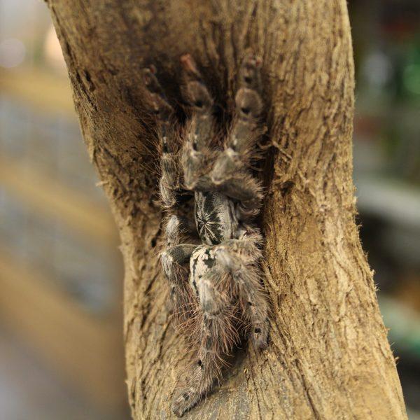 Togo-Starburt-heteroscoda-maculata-1-e1464963220790-1