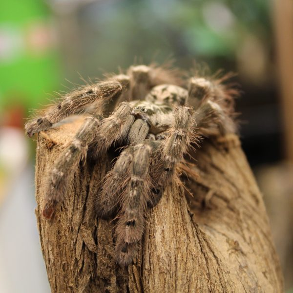 Togo-Starburt-heteroscoda-maculata-2-e1464963265148-1