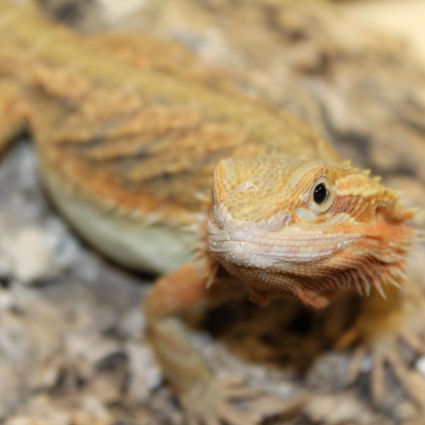 Translucent-Citrus-Red-Bearded-Dragon-2-e1460209492343-1-1