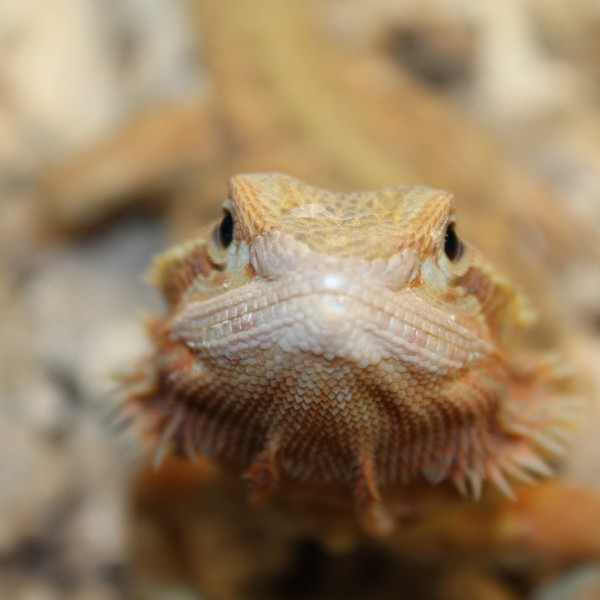 Translucent-Citrus-Red-Bearded-Dragon-3-e1460209506788-1-1