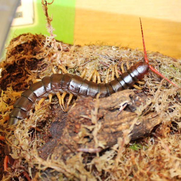 Vietnam Giant Centipede – Scolopendra dehanni
