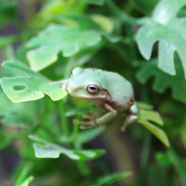 Whites Tree Frogs – Litoria caerulea
