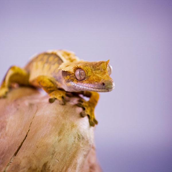 crested-gecko-1