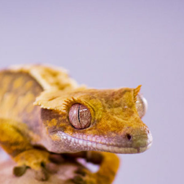 Flame Crested Geckos – Correlophus ciliatus
