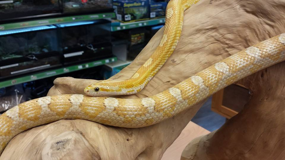 Pet Corn Snakes For Sale Buy In Store Evolution Reptiles