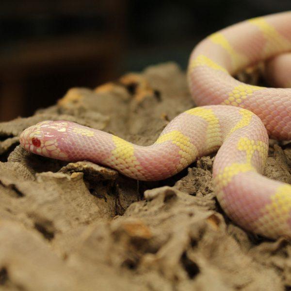 Albino-Californian-King-Snake-2