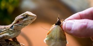 Bearded-Dragon-Hand-Feed-snatch