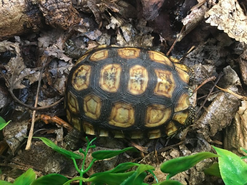 Bells-Hingeback-Tortoise-4-e1530698131524