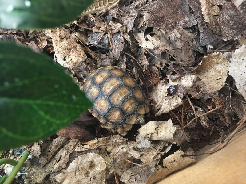 Bells-Hingeback-Tortoise-e1530698075601