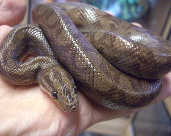 Columbian Rainbow Boa