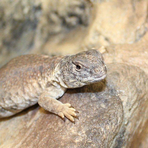 North-African-Uromastyx-5-e1457873061843