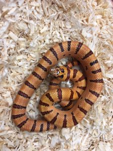 Orange Peach Thayers King snake