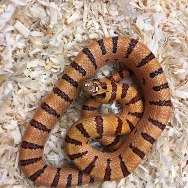 Orange Peach Thayers King snake