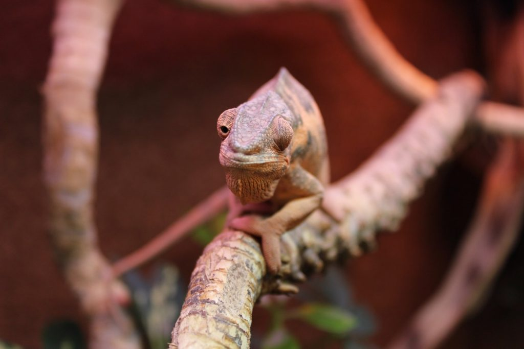 Panther-Chameleon-Female