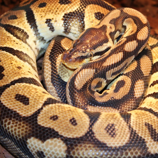 Pastel-Granite-royal-python-2-e1460209732488-1