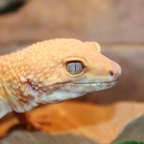 Rainwater-albino-adult-Leopard-gecko-e1460194207834