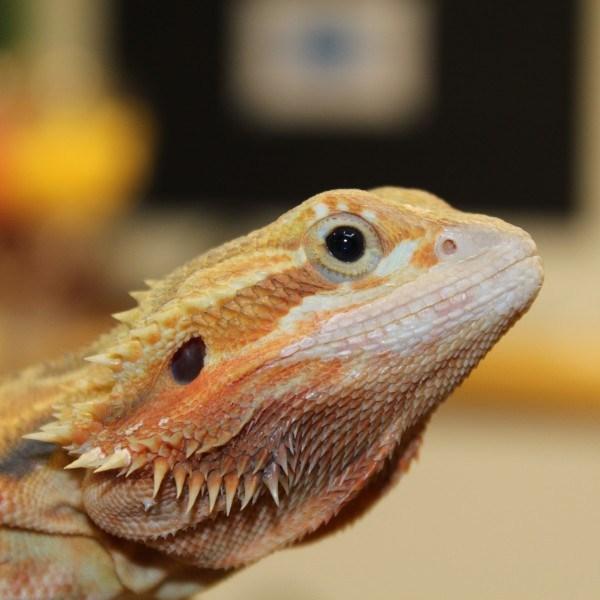 Translucent-Citrus-Red-Bearded-Dragon-e1460209384902
