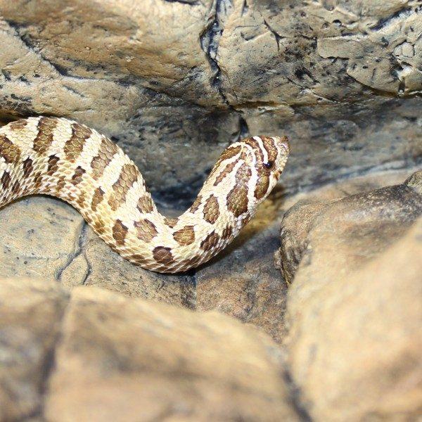 Western-Hognose-Snake-e1457967040733