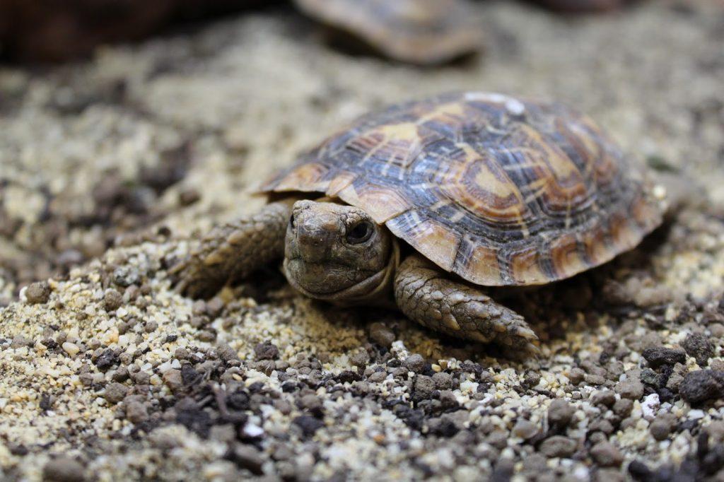 pancake-tortoise-1