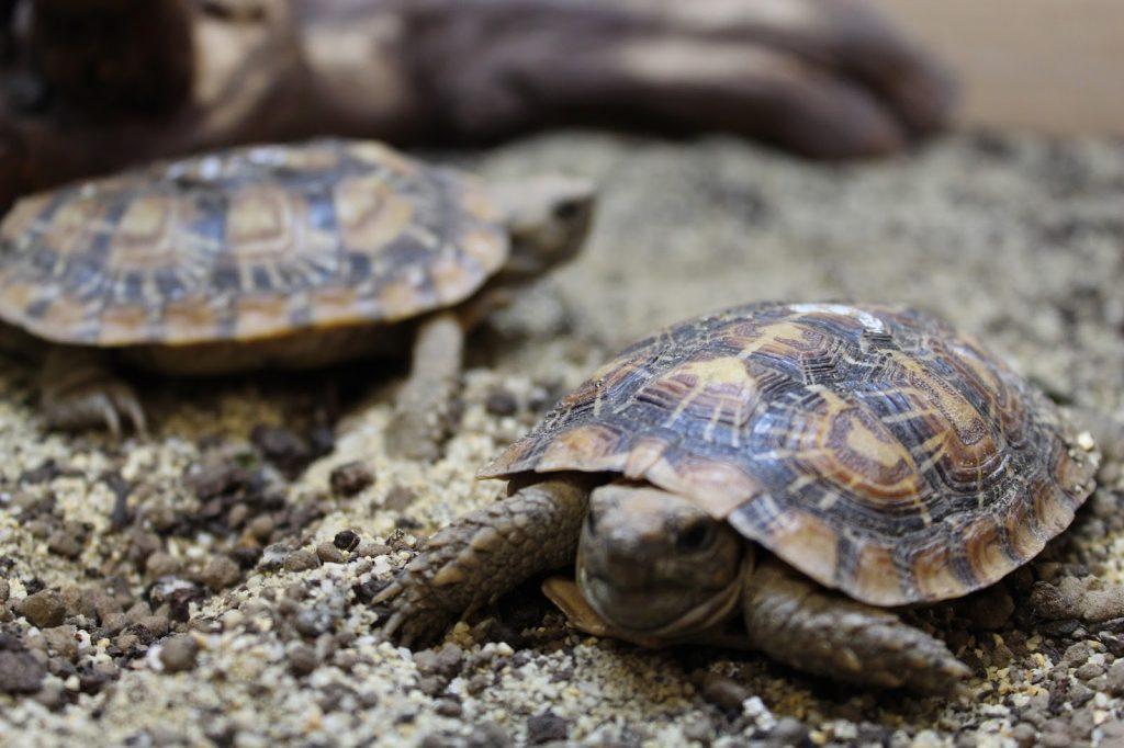 pancake-tortoise-2