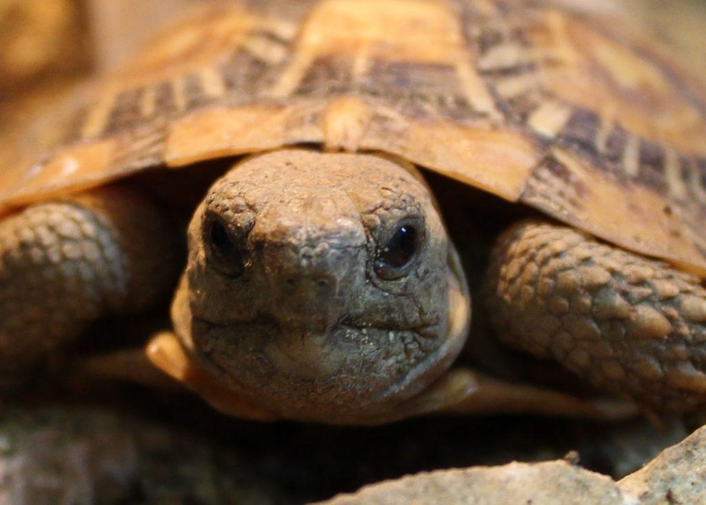 pancake-tortoise-4