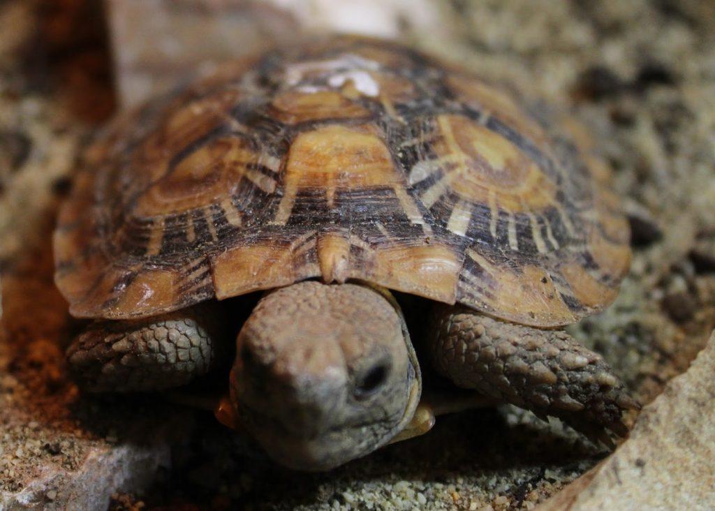 pancake-tortoise-5
