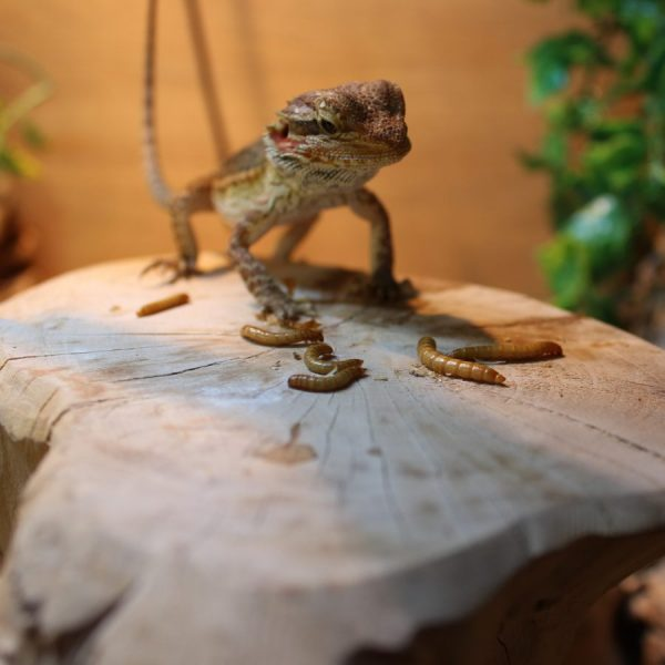 Bearded-Dragon-with-Mealworm-e1516188849527-6.jpg