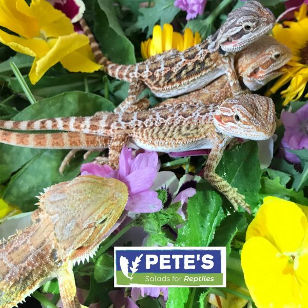 Bearded Dragons in Pete's Herbivore Salad Mix