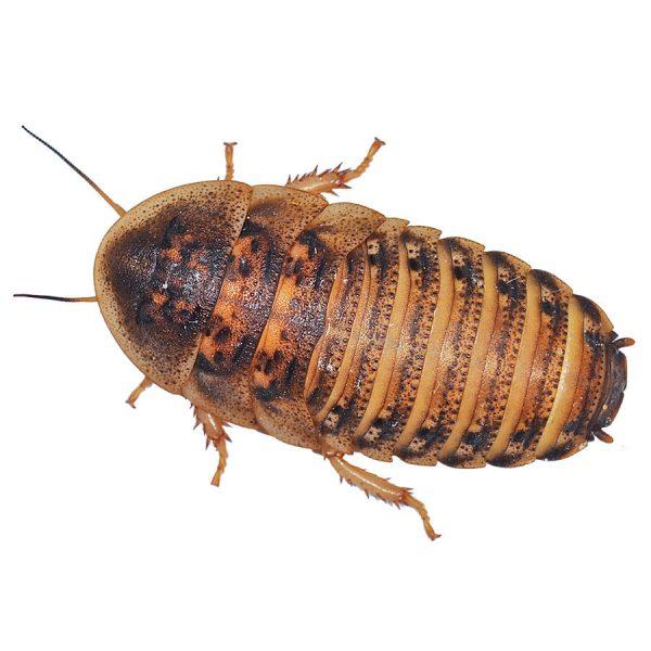 Dubia-cockroach-A395-6.jpg