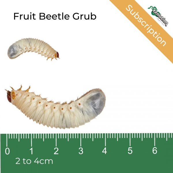 Fruit Beetle Grub Subscription + ruler