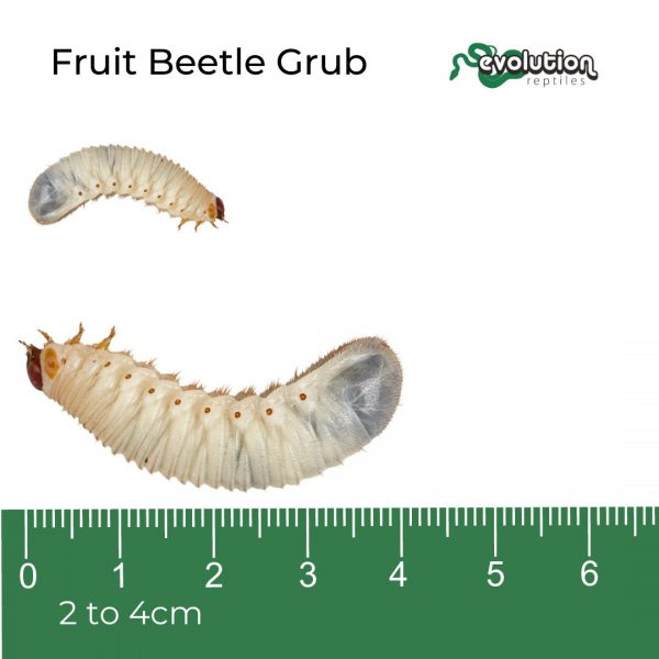 Fruit Beetle Grub + ruler