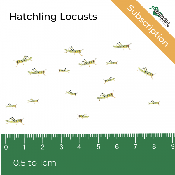 Hatchling Locust Subscription + ruler