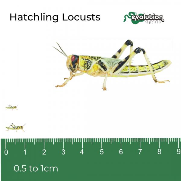 Hatchling Locust + ruler