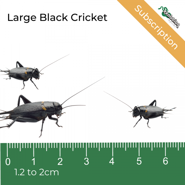 Large Black Crickets Subscription