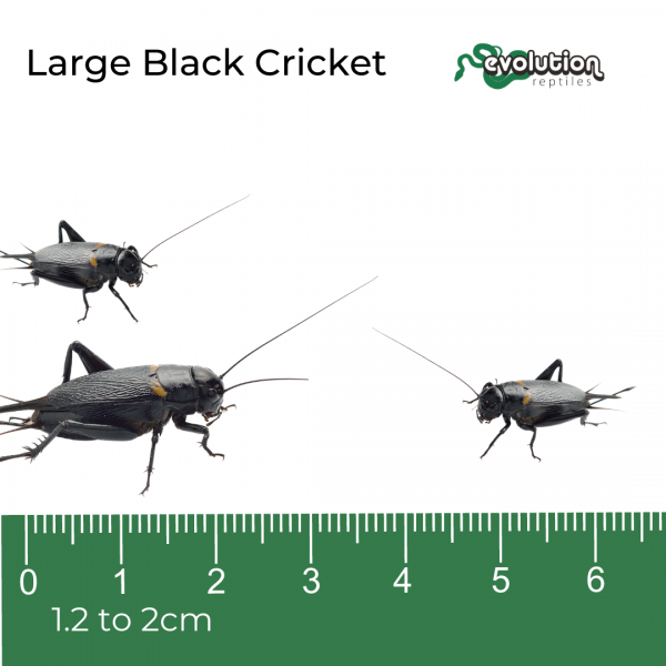 Large Black Crickets + ruler