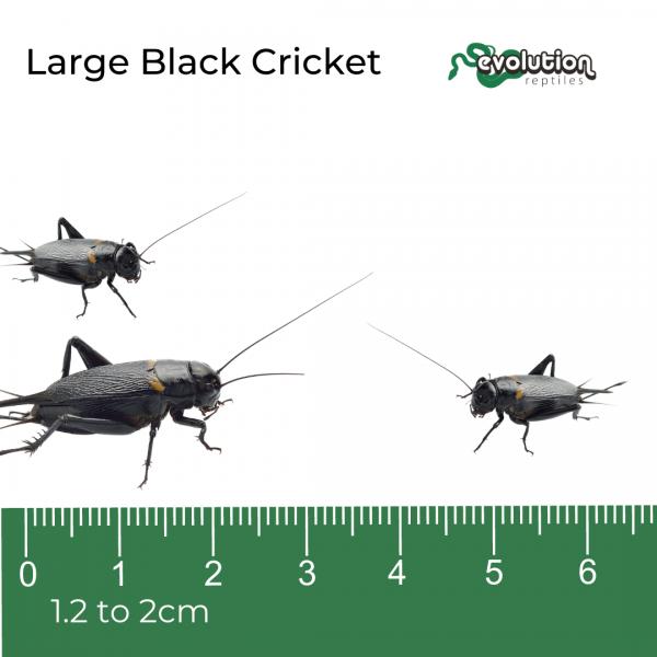Large Black Crickets + ruler