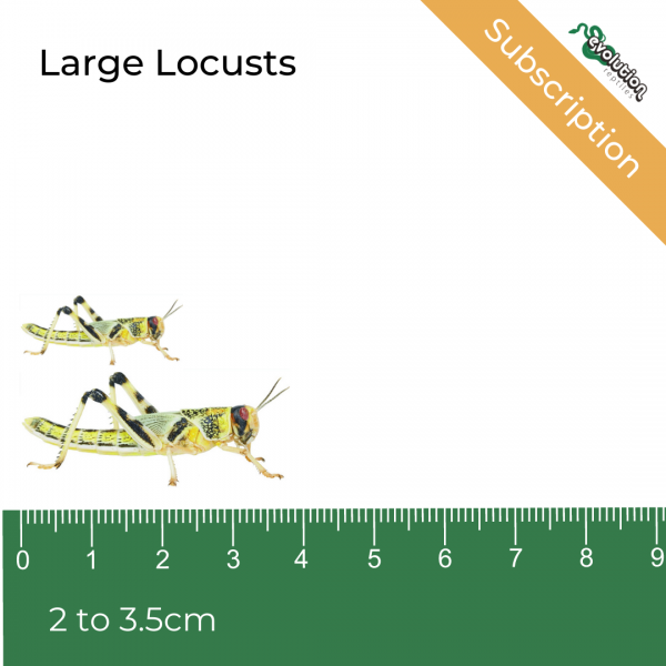Large Locust Subscription + ruler