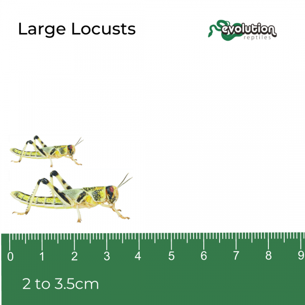 Large Locust + ruler