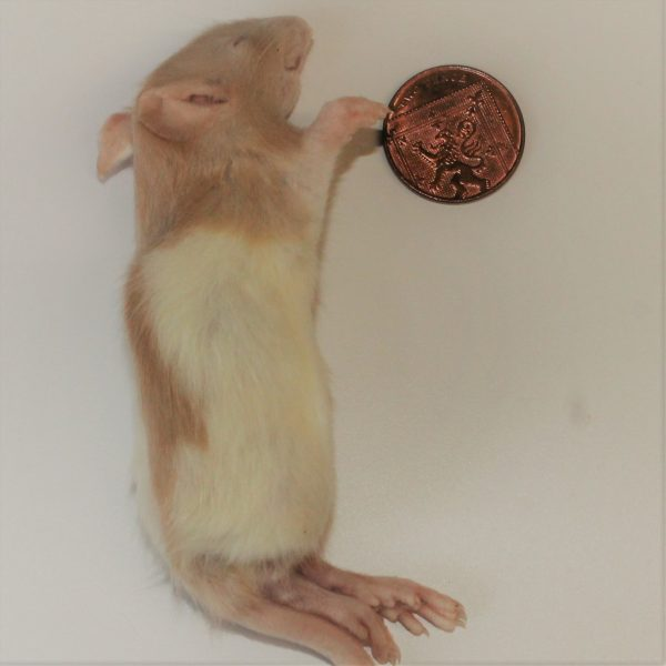 Large Rat Weaner