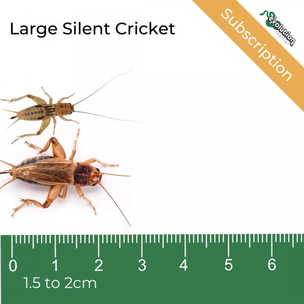 Large Silent Cricket Subscription + ruler